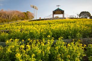 神戸総合運動公園の菜の花畑の写真素材 [FYI01767315]