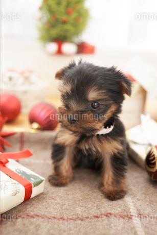 クリスマス飾とヨークシャテリアの写真素材 [FYI01767333]