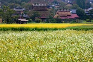 ソバの花と茅葺屋根 京都府美山町の写真素材 [FYI01767357]