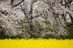 春爛漫の藤原宮跡の写真素材 [FYI01767390]
