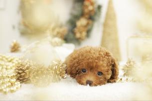 トイプードルとクリスマス飾りの写真素材 [FYI01767418]