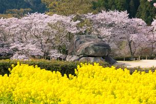 春満開の石舞台古墳の写真素材 [FYI01767547]