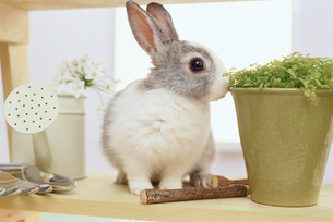 鉢植えやジョウロとミニウサギの写真素材 [FYI01767889]
