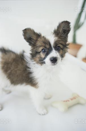 室内のパピヨンの子犬の写真素材 [FYI01768058]