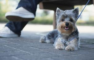 ベンチに座る女性と犬(ヨークシャテリア)の写真素材 [FYI01769388]