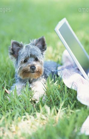 ノートパソコンと犬(ヨークシャテリア)の写真素材 [FYI01769500]