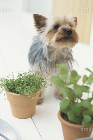 犬(ヨークシャテリア)と観葉植物の写真素材 [FYI01769595]