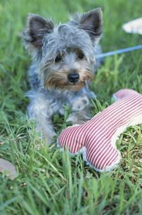 骨型のクッションと犬(ヨークシャテリア)の写真素材 [FYI01769614]