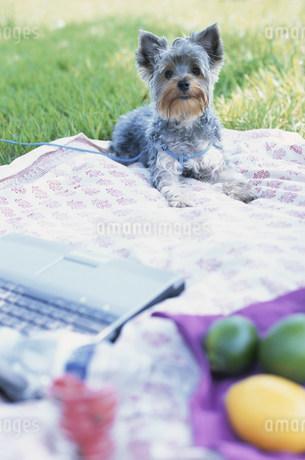 パソコンのそばに座る犬(ヨークシャテリア)の写真素材 [FYI01769618]