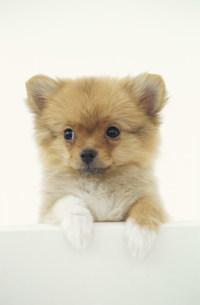犬(ポメラニアン)の写真素材 [FYI01769844]