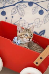 手押し車の中の猫の写真素材 [FYI01769909]