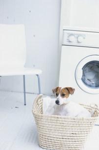 ランドリーとカゴの中の犬(ジャックラッセルテリア)の写真素材 [FYI01770007]
