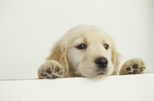 犬(ゴールデンレトリバー)の写真素材 [FYI01770222]