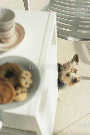 棚の上のお菓子と犬(ヨークシャテリア)の写真素材 [FYI01770257]
