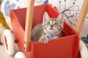 手押し車の中の猫の写真素材 [FYI01770263]