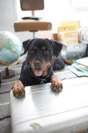 ジェラルミンケースの上に乗る犬の写真素材 [FYI01770371]