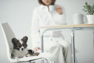イスに座ってお茶を飲む女性と犬(パピヨン)の写真素材 [FYI01770424]