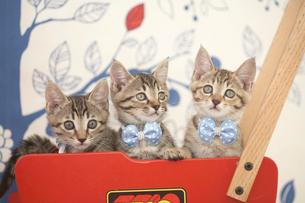 手押し車の中の3匹の猫の写真素材 [FYI01770925]