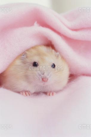 ピンクの毛布とハムスターの写真素材 [FYI01771226]
