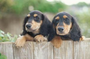 木の塀を登る二匹の子犬の写真素材 [FYI01771416]