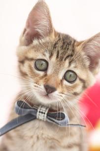 青リボンの猫の写真素材 [FYI01771421]