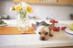 花とフルーツのそばで寝転ぶ犬(ヨークシャテリア)の写真素材 [FYI01771650]