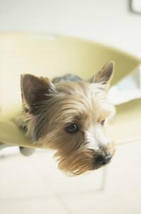 イスの上に寝転ぶ犬(ヨークシャテリア)の写真素材 [FYI01771816]