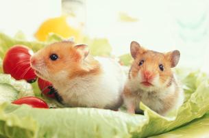 レタスとミニトマトとゴールデンハムスター2匹の写真素材 [FYI01771843]