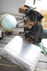 ラグの上に座る犬とジェラルミンケースの写真素材 [FYI01772108]