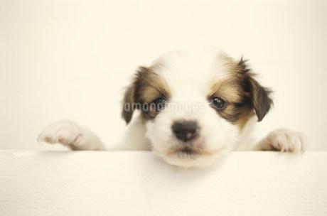 犬(パピヨン)の写真素材 [FYI01772160]
