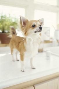 キッチンの調理台に立つ犬(チワワ)の写真素材 [FYI01772389]