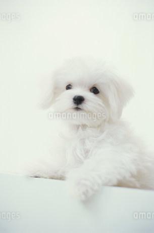 犬(マルチーズ)の写真素材 [FYI01772436]