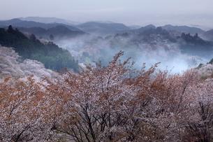桜咲く吉野山、上千本より金峯山寺蔵王堂を望むの写真素材 [FYI01772896]