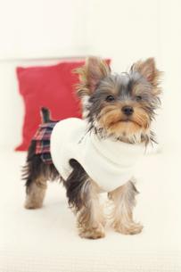 服を着た犬(ヨークシャテリア)とクッションの写真素材 [FYI01773068]