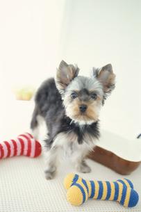 骨の形のおもちゃと犬(ヨークシャテリア)の写真素材 [FYI01773205]