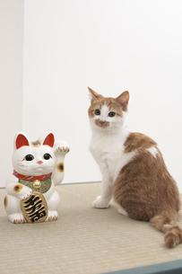 招き猫と子猫(雑種)の写真素材 [FYI01773208]