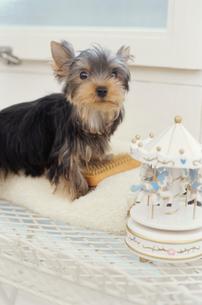犬(ヨークシャテリア)と小物の写真素材 [FYI01773351]