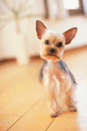犬(ヨークシャテリア)の写真素材 [FYI01773431]