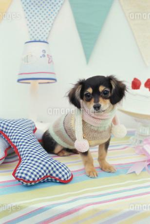 犬(チワックス)と骨の形をしたクッションとケーキの写真素材 [FYI01773538]
