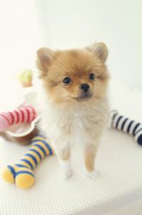 骨の形のおもちゃと犬(ポメラニアン)の写真素材 [FYI01773578]
