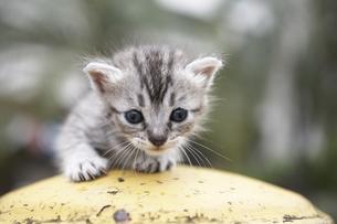 消化栓の上に乗る子猫(雑種)の写真素材 [FYI01773612]