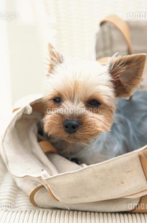 鞄から顔を出す犬(ヨークシャテリア)の写真素材 [FYI01773699]