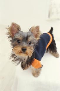 服を着た犬(ヨークシャテリア)の写真素材 [FYI01773788]