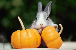 かぼちゃのオブジェとウサギの写真素材 [FYI01773868]