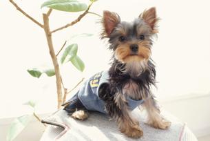 服を着た犬(ヨークシャテリア)と植物の写真素材 [FYI01773895]