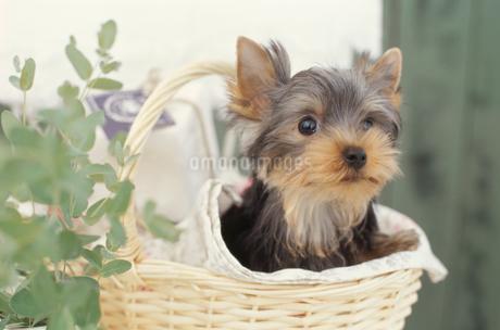 カゴから顔を出す犬(ヨークシャテリア)と植物の写真素材 [FYI01774297]