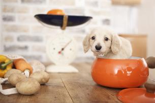 丸い器から顔を出す犬(ミニチュアダックスフンド)と野菜の写真素材 [FYI01774492]
