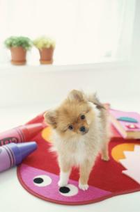 マットの上に立つ犬(ポメラニアン)と文具類の写真素材 [FYI01774573]