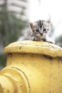消化栓の上に乗る子猫(雑種)の写真素材 [FYI01774600]