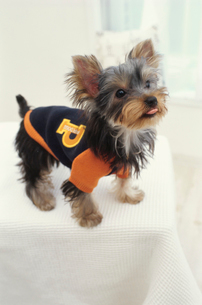 服を着た犬(ヨークシャテリア)の写真素材 [FYI01774677]